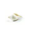 Right-Turning-Conch-Shell-8.5cm-1