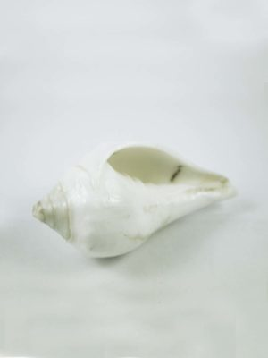 Right-Turning-Conch-Shell-7cm-2